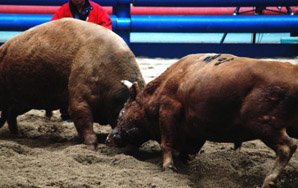 Cheongdo, Korea: This is Not Hemingway's Bullfight
