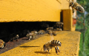 All the Bees Are Dying and the Consequences Seem Bleak