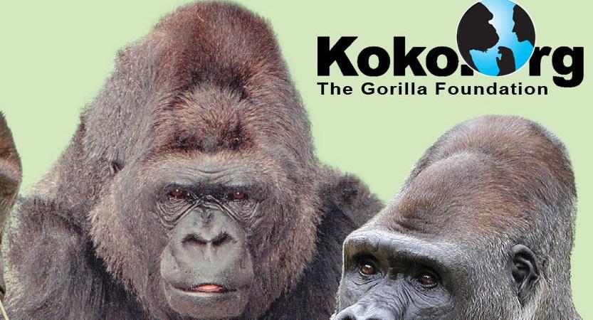 """Koko, The """"Talking"""" Gorilla"""