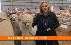 Reporter Tries To Keep It Together While A Pair Of Alpacas Get It On In TheBackground