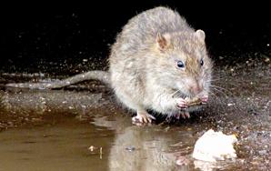 I Hammered Rats ToDeath