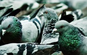Is It Okay To Hate Pigeons?
