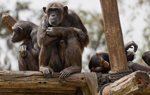 What Primates Teach Us About Being Human