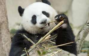 Pandas Learn About Panda Express, Are NotPleased