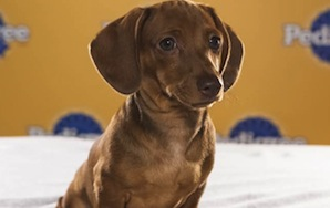 AHHHH SO CUTE: Here's Your 2013 Puppy Bowl LineUp