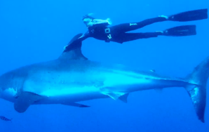 Fearless Woman Swims With Great White Shark
