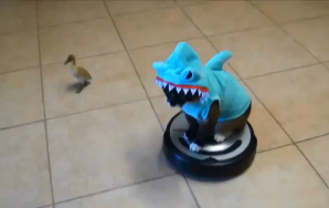 Here's Your Video Of A Cat-Shark On A Roomba, Chasing A Duckling