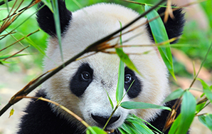 Get Obsessed With These Baby Pandas Riding Down ASlide!