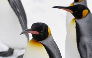 Why Penguins Have A Forwarder Culture Than People