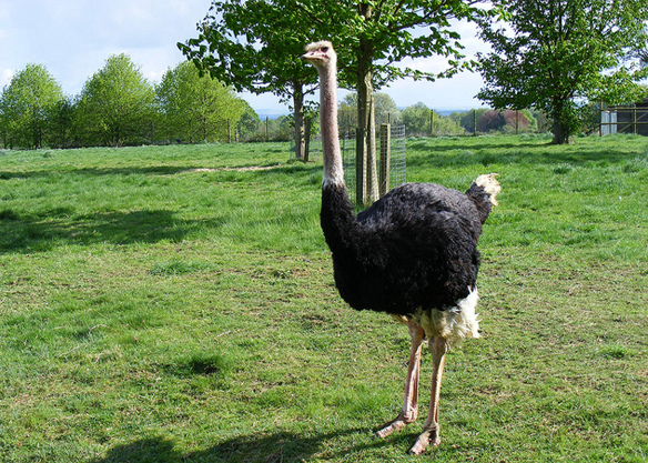People used to think that when threatened, ostriches would bury their head in the ground, Marie Hale