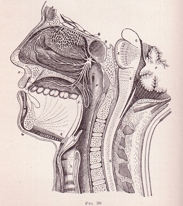Cross_Section_of_a_Face