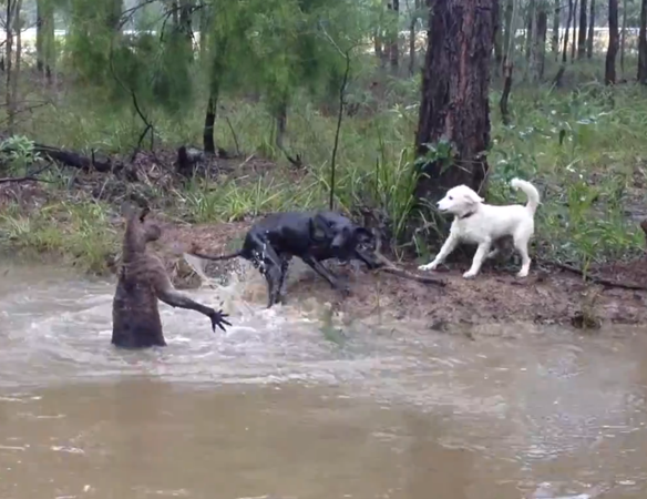 Watch This Real Video Of A Kangaroo And DogFighting