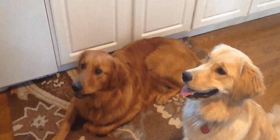 Watch This Hecka Cute Dog Fail At EatingCheerios