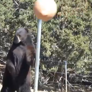 Watch This Bear Star In The Most Important Video In The History Of Tetherball