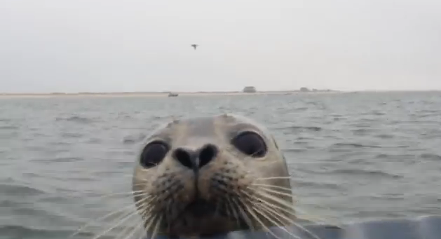 This Adorable Seal Does The Unthinkable And Looks Incredibly Cute DoingIt