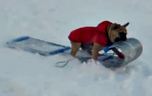 Here's Your Damn Video Of Dogs Riding OnSleds