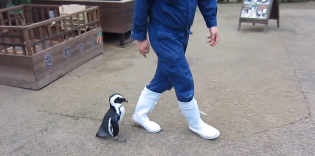 In Other News, Here's The Best Baby Penguin Ever Chasing A Zookeeper