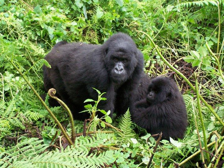 Trekking to gorillas in Rwanda.