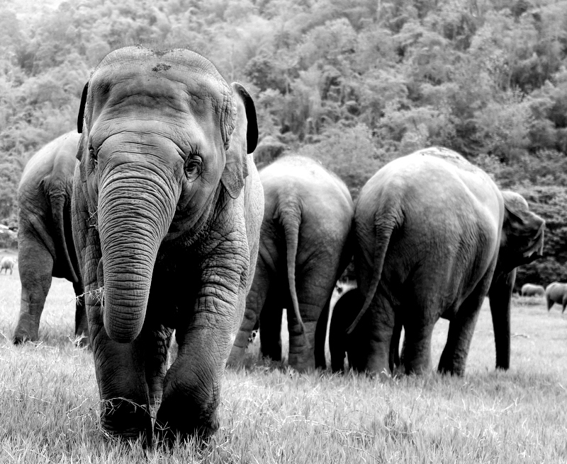 Faa Mai steps away from the herd at Elephant Nature Park