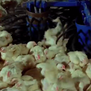 This Beautiful 6-Minute Film Shows How Animals Become The Meat Featured On Your Plate