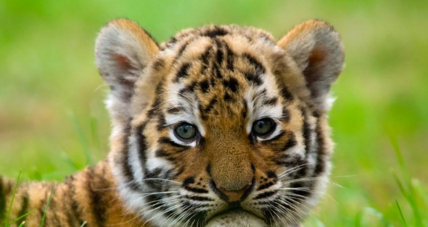 24 Photos Of Cute And Playful TigerCubs