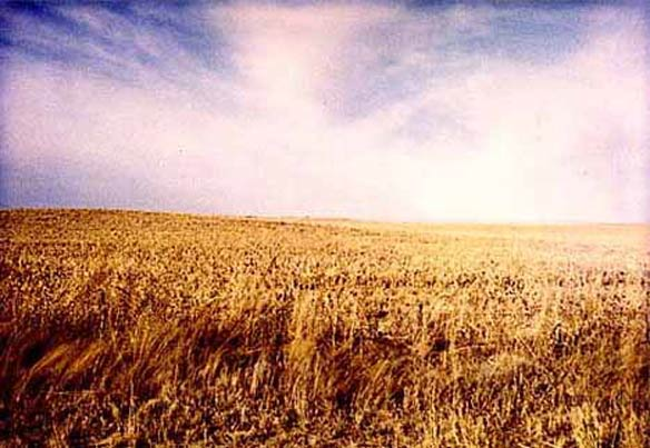 Kansas wheat field, 1990.