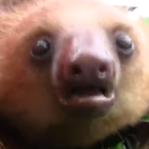 Prepare Your Hearts For This Incredibly Adorable Video Featuring Squeaking Sloths