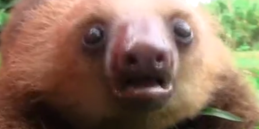 Prepare Your Hearts For This Incredibly Adorable Video Featuring SqueakingSloths