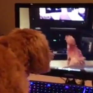 Watch This Dog Approach Inception As It Barks At Herself On TV, Which Is Barking At Herself On TV, Which Is Barking At Herself On TV…