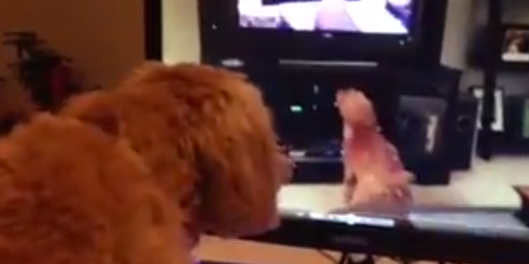 Watch This Dog Approach Inception As It Barks At Herself On TV, Which Is Barking At Herself On TV, Which Is Barking At Herself OnTV…