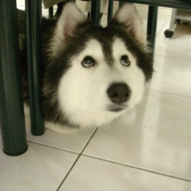 Photos Of This Husky Raised As A Cat Are Exactly What You Need Right Now
