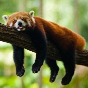 These Photos Of Red Pandas Will Make Your Day Infinitely Better