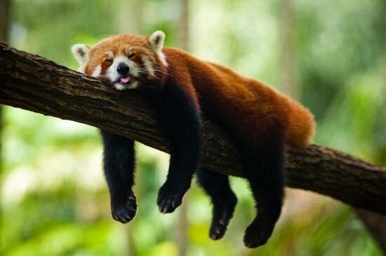 These Photos Of Red Pandas Will Make Your Day InfinitelyBetter