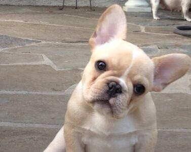 Come Look At These French Bulldog Puppies RIGHT NOW