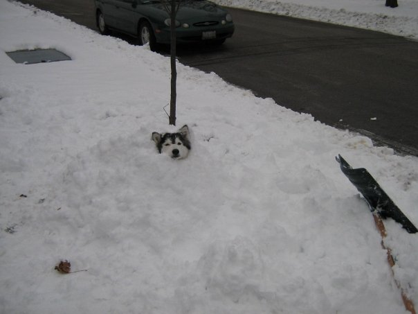 We like to bury her in snow. She likes to rewards herself by stealing our food. Credit: DONG_OF_JUSTICE /  Imgur
