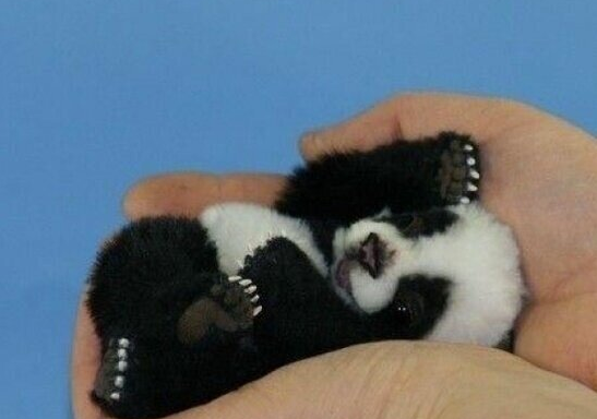 20 Pictures Of Baby Pandas That Will Instantly Make Your DayBetter