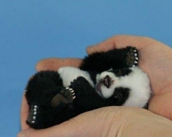 20 Pictures Of Baby Pandas That Will Instantly Make Your Day Better