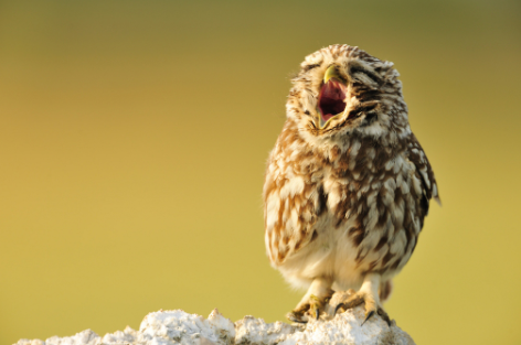 18 Photos Of Baby Animals Yawning (BECAUSE BABY ANIMALSYAWNING!)