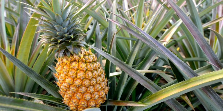 Women Are Like Pineapples. They're Difficult And Acidic, But Sweet AndSavory.