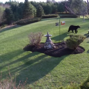 Watch Two Little Dogs Confront A Massive Black Bear