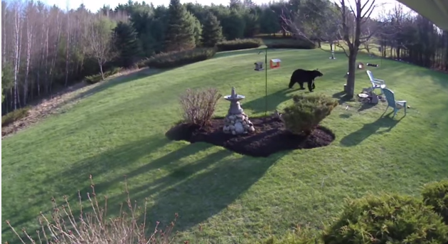 Watch Two Little Dogs Confront A Massive BlackBear