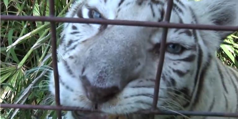 You've Gotta See These Full Grown Big Cats Chowing Down On PeopleFood