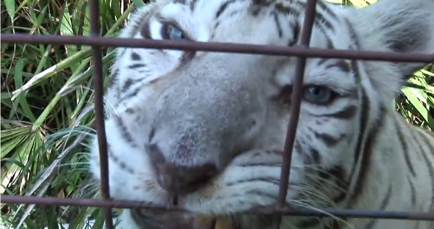 You've Gotta See These Full Grown Big Cats Chowing Down On People Food