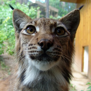 Disney Movie IRL, This Housecat Has Moved In With A Wild Lynx At A Russian Zoo