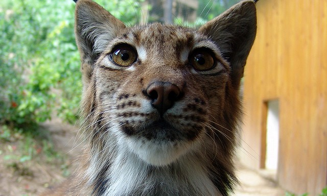 Disney Movie IRL, This Housecat Has Moved In With A Wild Lynx At A RussianZoo