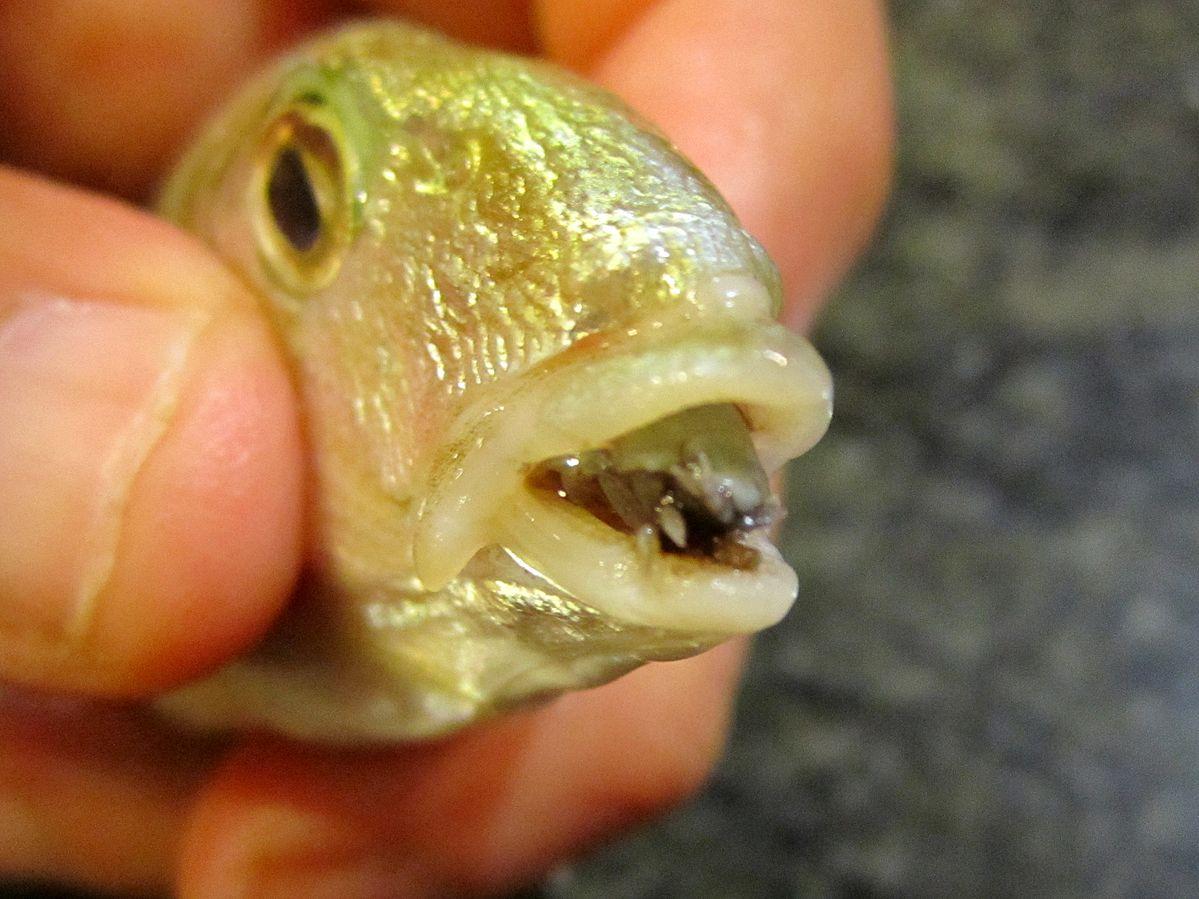 Isopode marino, endoparassita di pesci Osteitti. Si ancora, tramie uncini, all'interno del cavo orale dell'ospite sostituendosi alla lingua. L'ospite è Lithognathus mormyrus. Source: Wikipedia