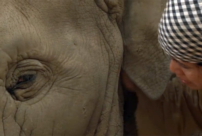 Video: Woman Sings Lullaby To Elephant, Who Falls Asleep And StartsSnoring