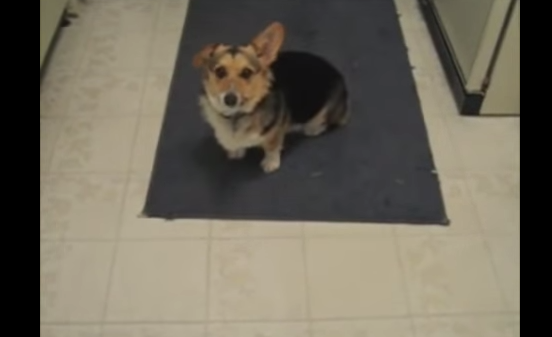 Diehard Music Fan Corgi Only Responds When His Owner Does This OneThing