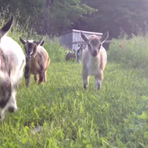 This Video Of Baby Goats Running Will Surely Brighten Your Day