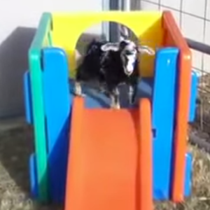 This Baby Goat Faints On A Slide And Gravity Does Its Job